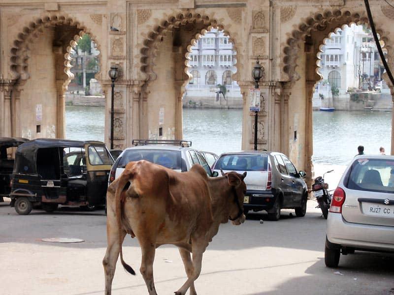 Hellig ko og gaths i Udaipur