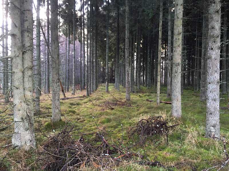 Skoven ved Gammel Rye på en gråvejrsdag