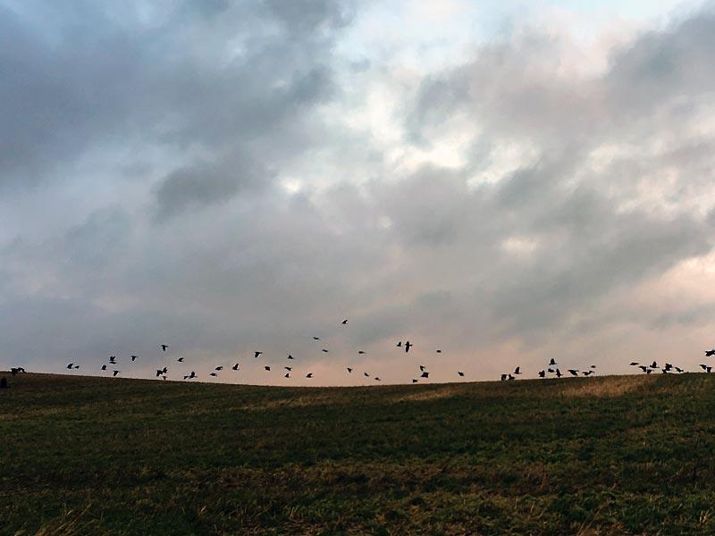 Fugle på marken på en dag med gråvejr i januar