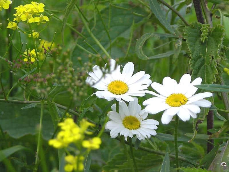Vilde blomster i Østeuropa