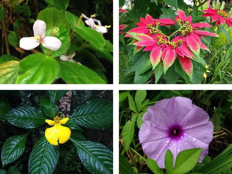 Blomster ved Tanah Rata i Cameron Highlands i Malaysia