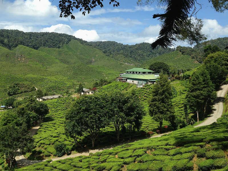 Tefabrik i Cameron Highlands i Malaysia