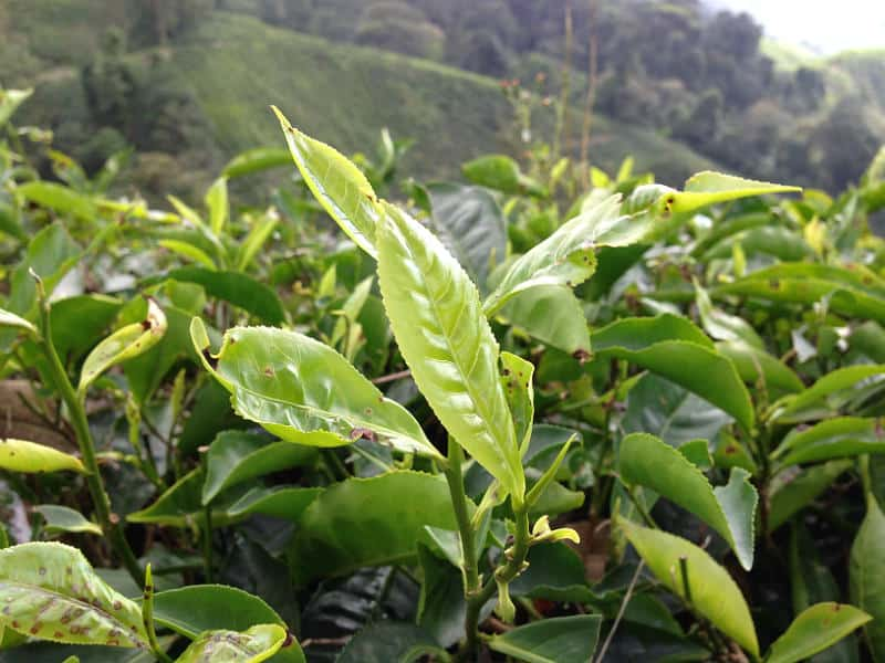 Blade på en camellia sinensis i Cameron Highlands i Malaysia