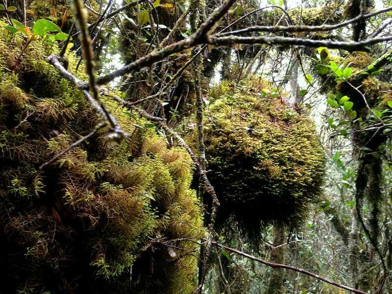 Mosskoven i Cameron Highlands