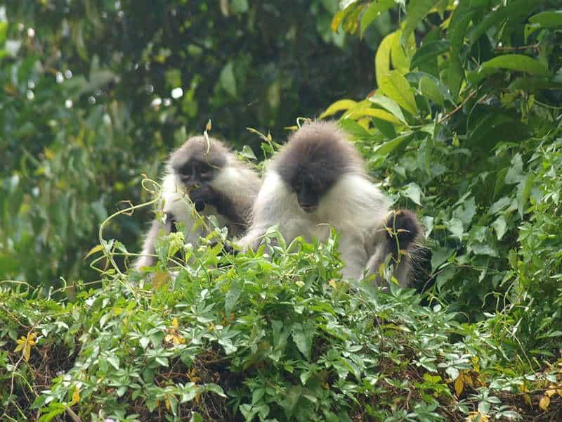 Bladaber ved Tanah Rata i Cameron Highlands i Malaysia