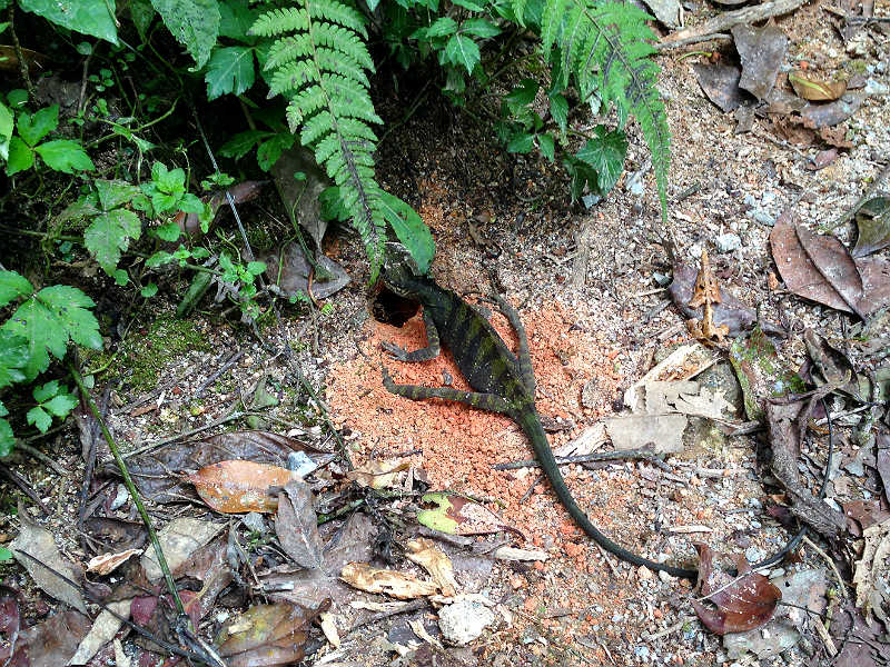 Firben i skoven ved Tanah Rata i Cameron Highlands i Malaysia
