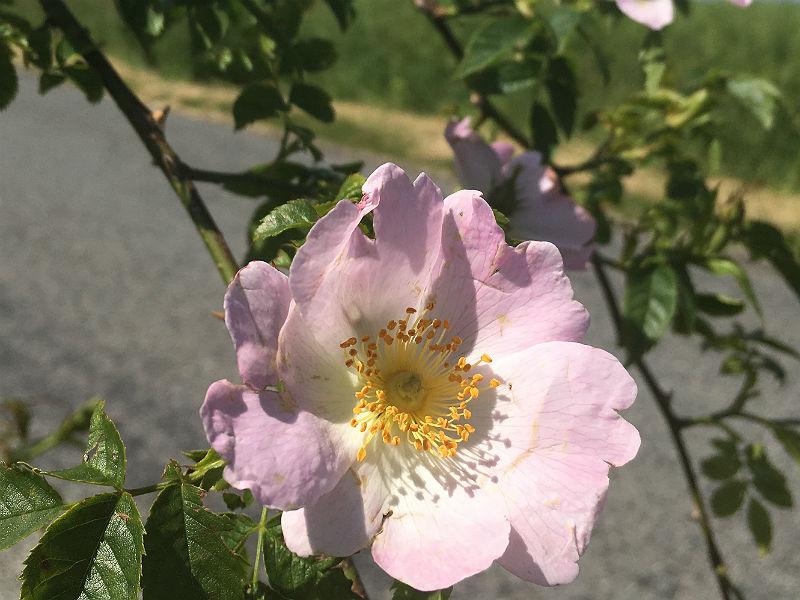 Vild rose i den danske natur