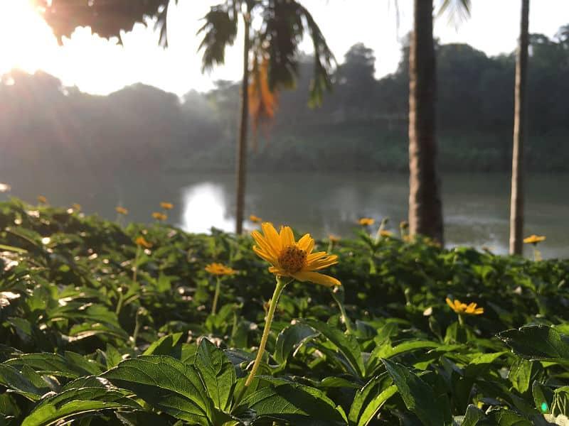 Blomst i morgenlys i Luang Prabang