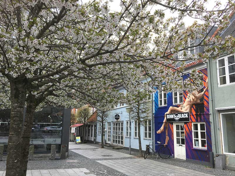 Kirsebær i blomst i Grønnegade i Horsens