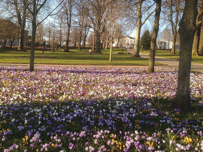 Krokus i blomst i Lunden i Horsens
